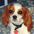 Paul - Owner of Tillie, Cavalier King Charles Spaniel